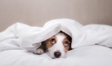 Hund lugt unter Bedecke hervor